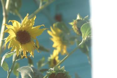 Sunflower by bunnylavi