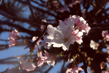 Peachy rose by bunnylavi