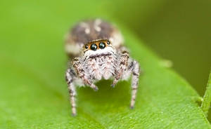 Jumping spider by agiaco