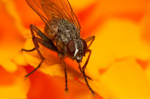 fly on marigold by agiaco