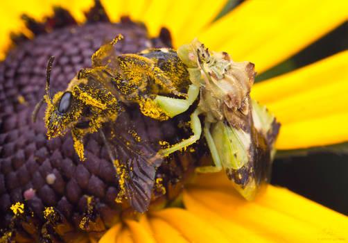 Ambush bug with prey