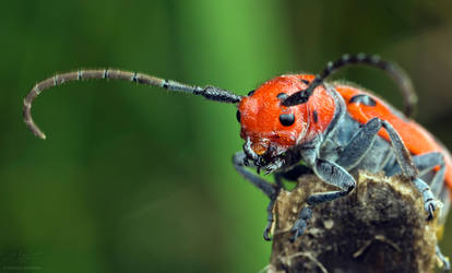 Milkweed beetle side view