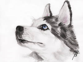 Siberian Husky by litchi-chan