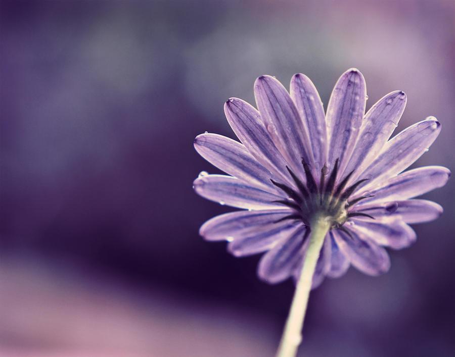 VIOLET Spring_by_Multifacetiica