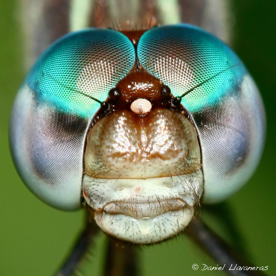 Dragonfly head detail by dllavaneras