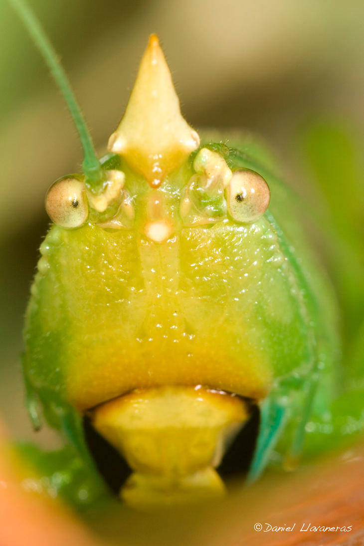 Shy katydid by dllavaneras