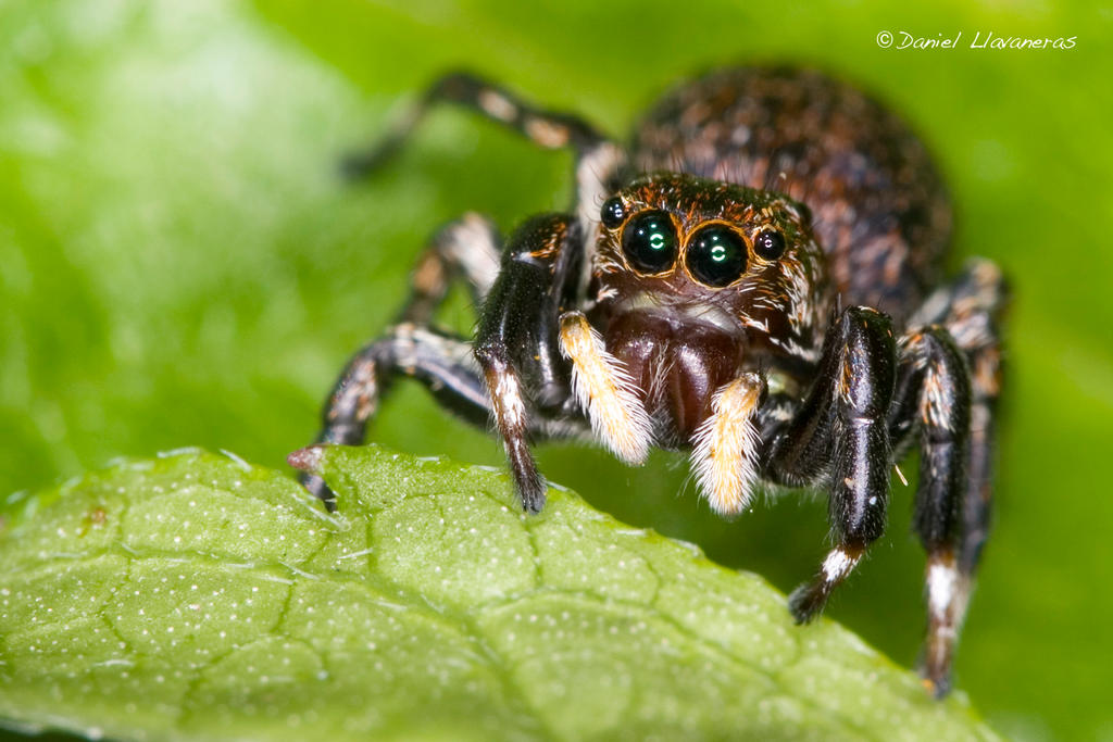 Cute jumping spider - photo#10
