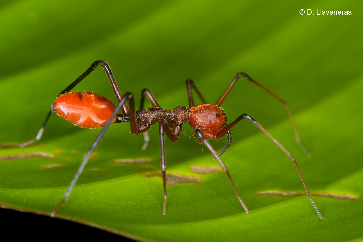 Ant mimic spider by dllavaneras