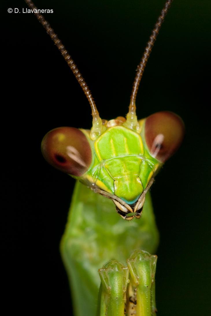 Alert mantis by dllavaneras