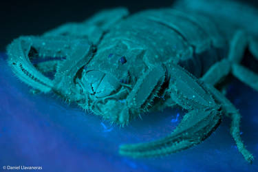 UV scorpion by dllavaneras