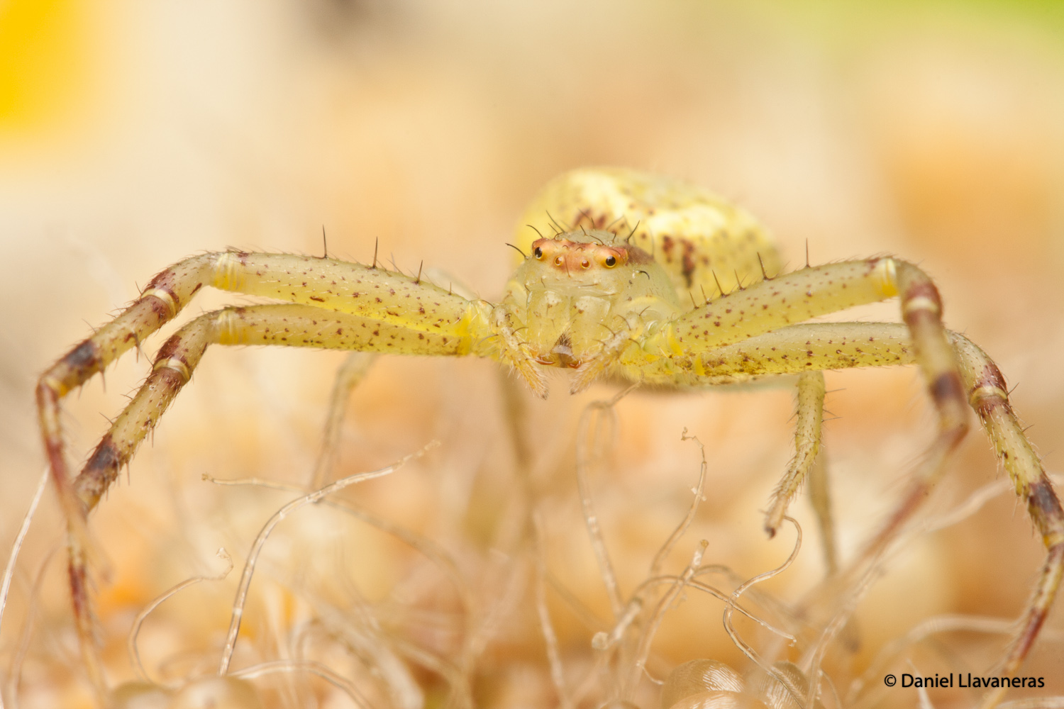 Female Thomisidae by dllavaneras