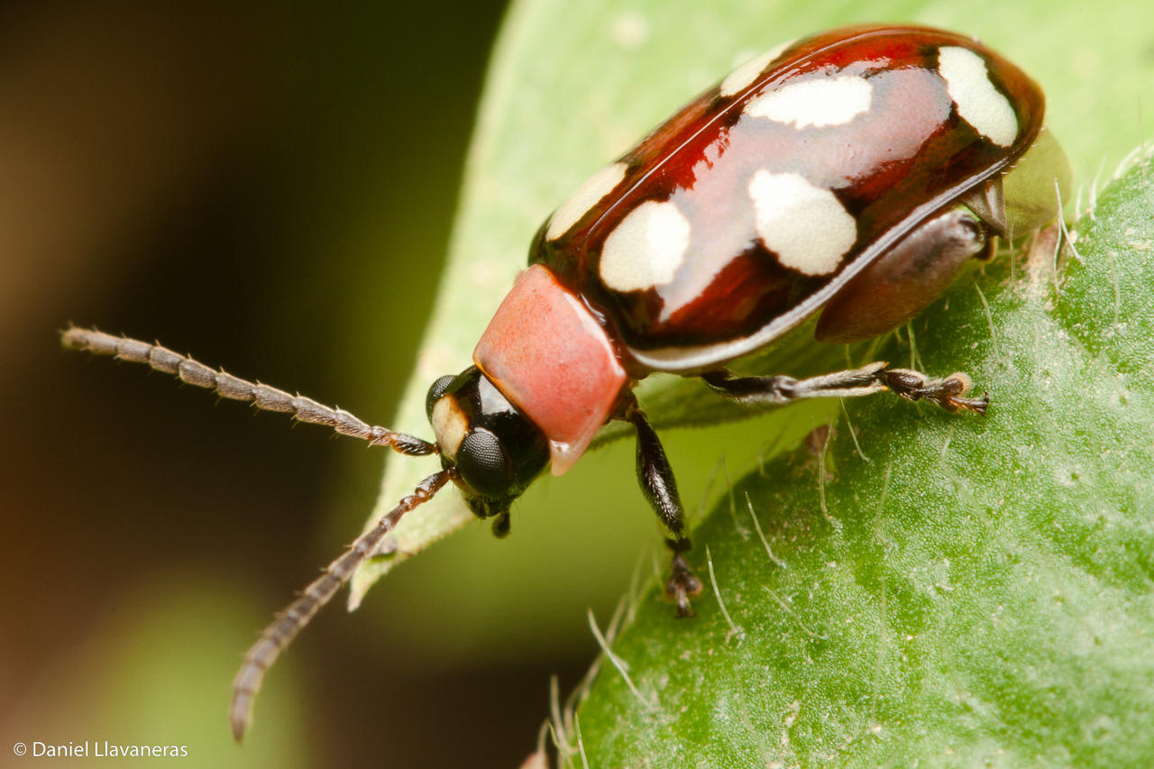 Colorful spotted beetle by dllavaneras on DeviantArt