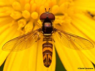 Hoverfly - Dorsal Anatomy