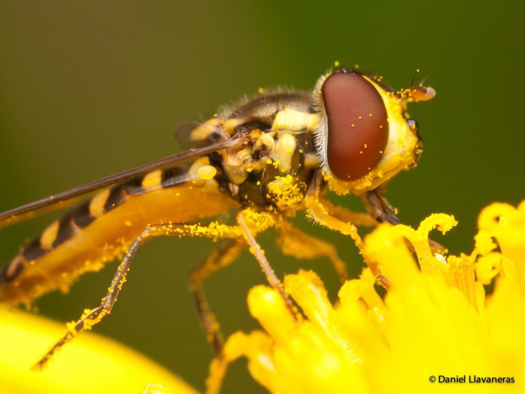 Feeding hoverfly by dllavaneras