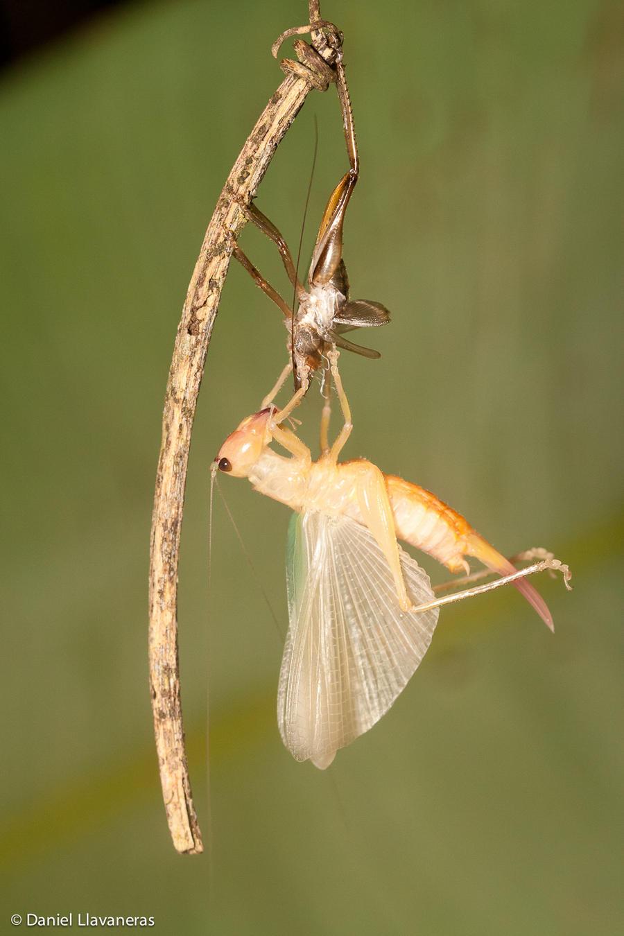 Molting katydid by dllavaneras