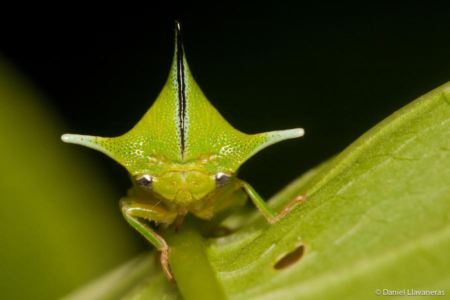 Horned treehopper by dllavaneras