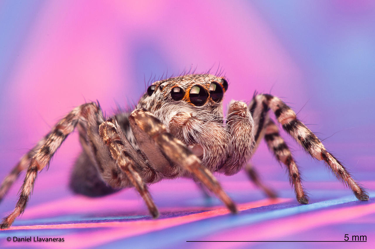 Salticid on purple and blue by dllavaneras