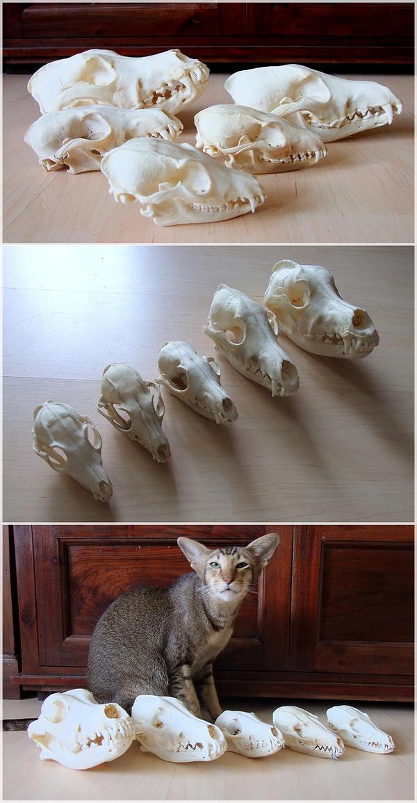 Canidae Skulls