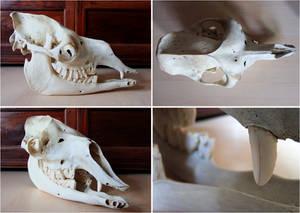 Skull - Dromedary