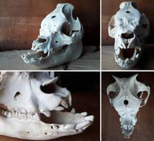 Skull - Middle-White pig