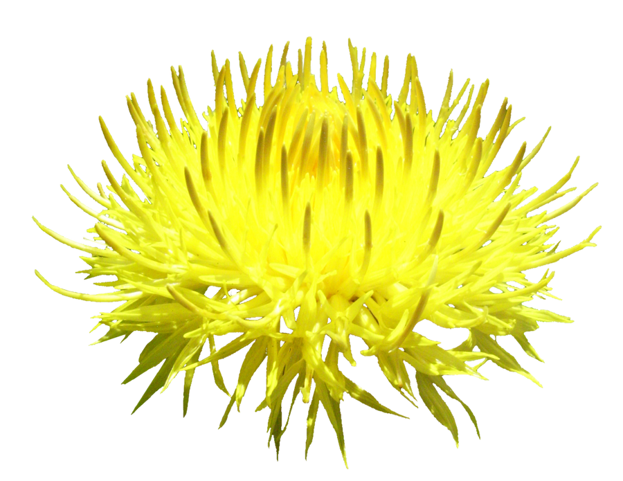 Yellow Flower PNG by da-joint-stock