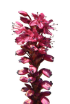Stalk of Red Flowers PNG