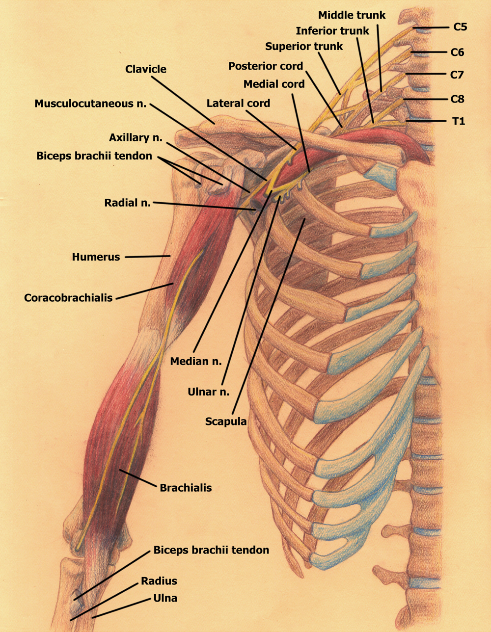 Branching of the Brachial Plexus (anterior view) by Blique on DeviantArt