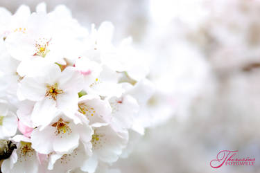 White Blossoms by RacyCracy