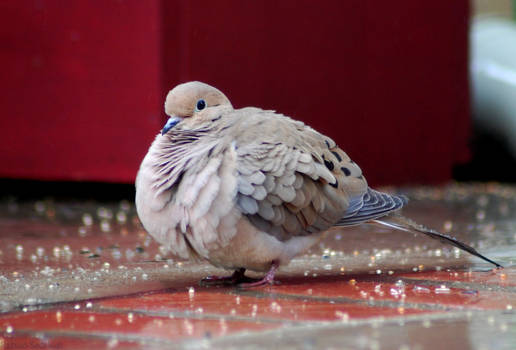 A dove in light rain
