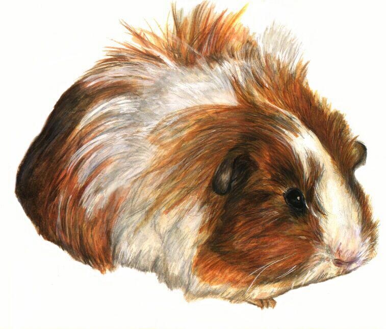 Sheltie guinea pigs - photo#10