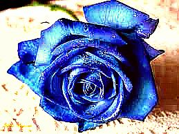 Blue rose by Kakoska97