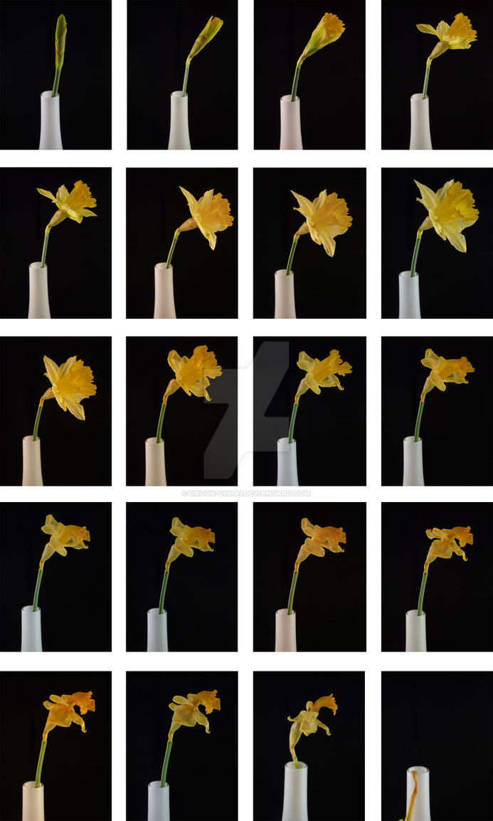 Daffodil Time Lapse by Crook-Ouhai