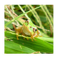 Frog by Lefors