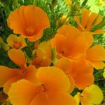 Orange Fervour