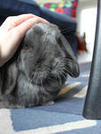 [stock] Rabbit portrait : Kenny