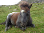 [stock] Wales : baby poney