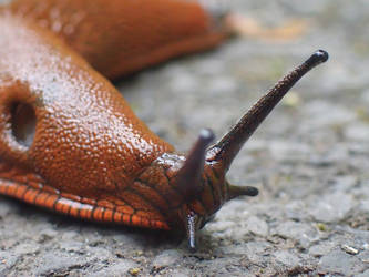 Slug in St Amand