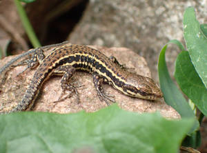 Sleeping lizard