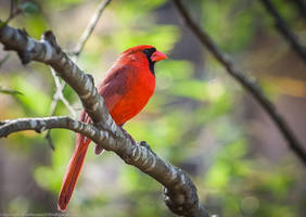 Northern Cardinal by rctfan2