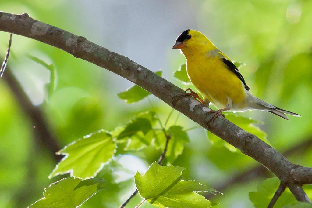 American Goldfinch Male by rctfan2 on DeviantArt