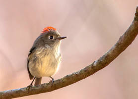 Ruby Crowned Kinglet by rctfan2