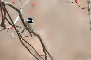 Carolina Chickadee by rctfan2