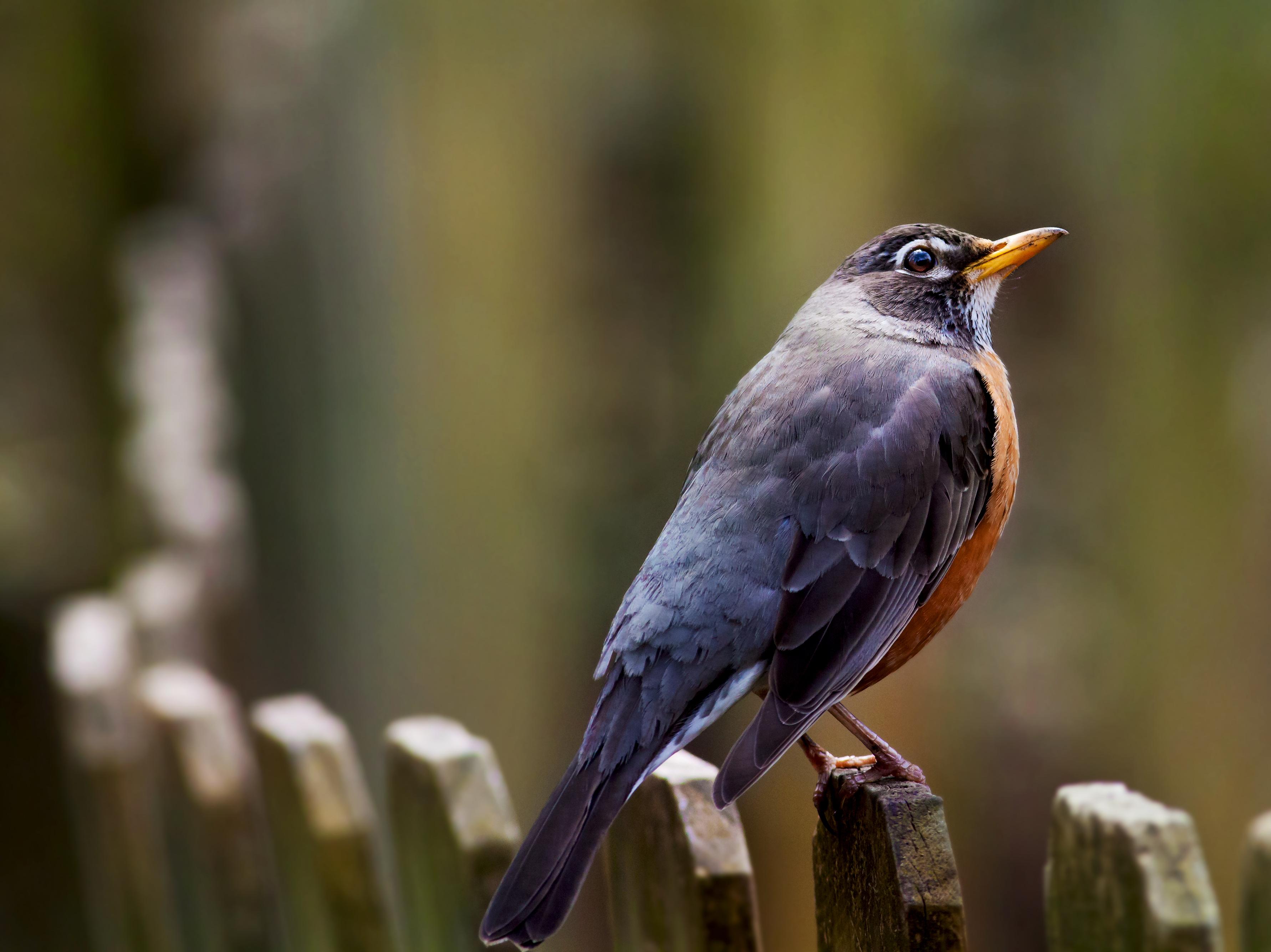American Robin by rctfan2