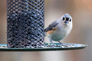 Titmouse by rctfan2