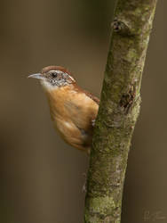 Carolina Wren by rctfan2