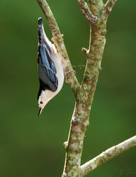 White Breasted Nuthatch by rctfan2
