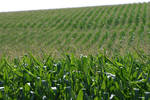 Corn (WIP-6)