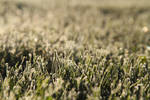 Frosted Grass 2