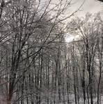 Birch Forest 1