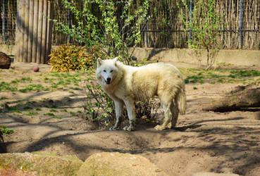Arctic Wolf, Berlin Zoo I by MissNightmarePhoto